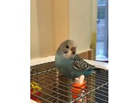 Baby budgie 13 weeks old