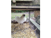 white silkies for sale - Rooster and hen , must be sold together
