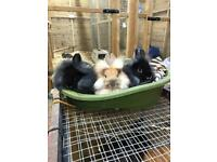 Beautiful lion head x netherland dwarf baby rabbits 🐰