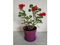 Geranium Inside & Outside Plant Red