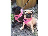 2 pure pug puppies £950 pair