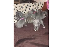 Blue staffy pups Kc reg champion lines