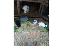 Netherland dwarf cross rex rabbit baby rabbits