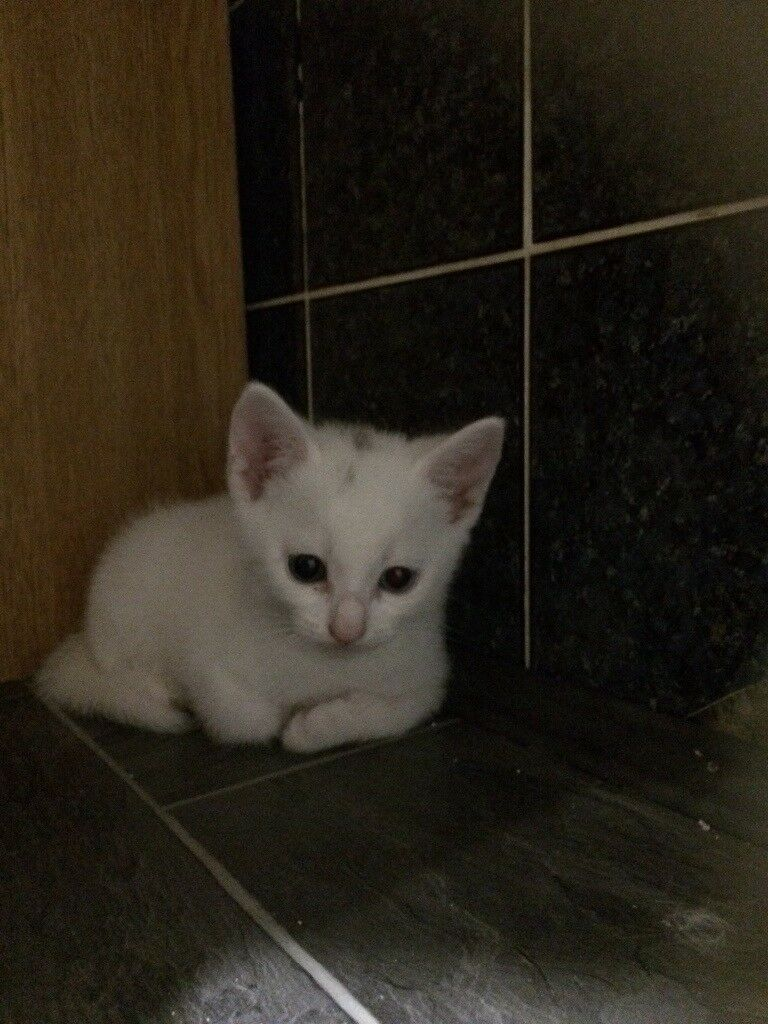 8bca79aef2 Two Turkish van x kittens for sale. Lancing