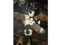 New age bulldog puppies
