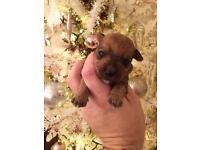 Jack russel x Yorkshire terrier pup