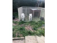Samoyed - Cute Puppies