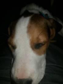 11 week old beagle