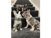 French bulldog quality puppies Isabella
