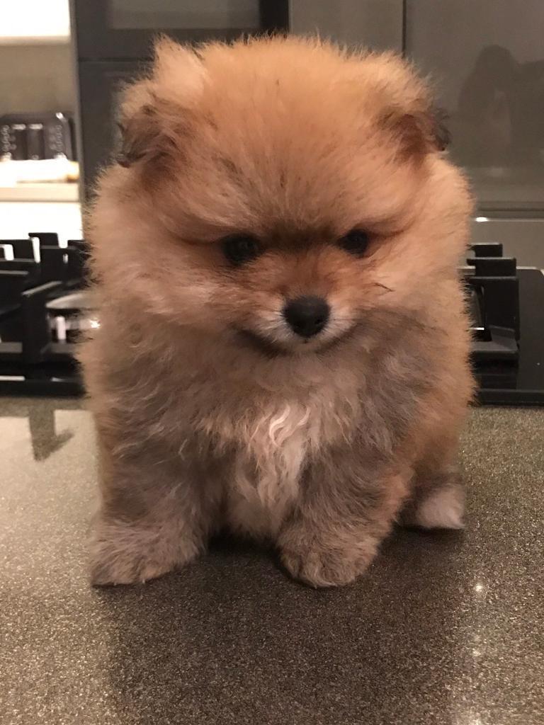 2 female KC Registered Pomeranian puppies