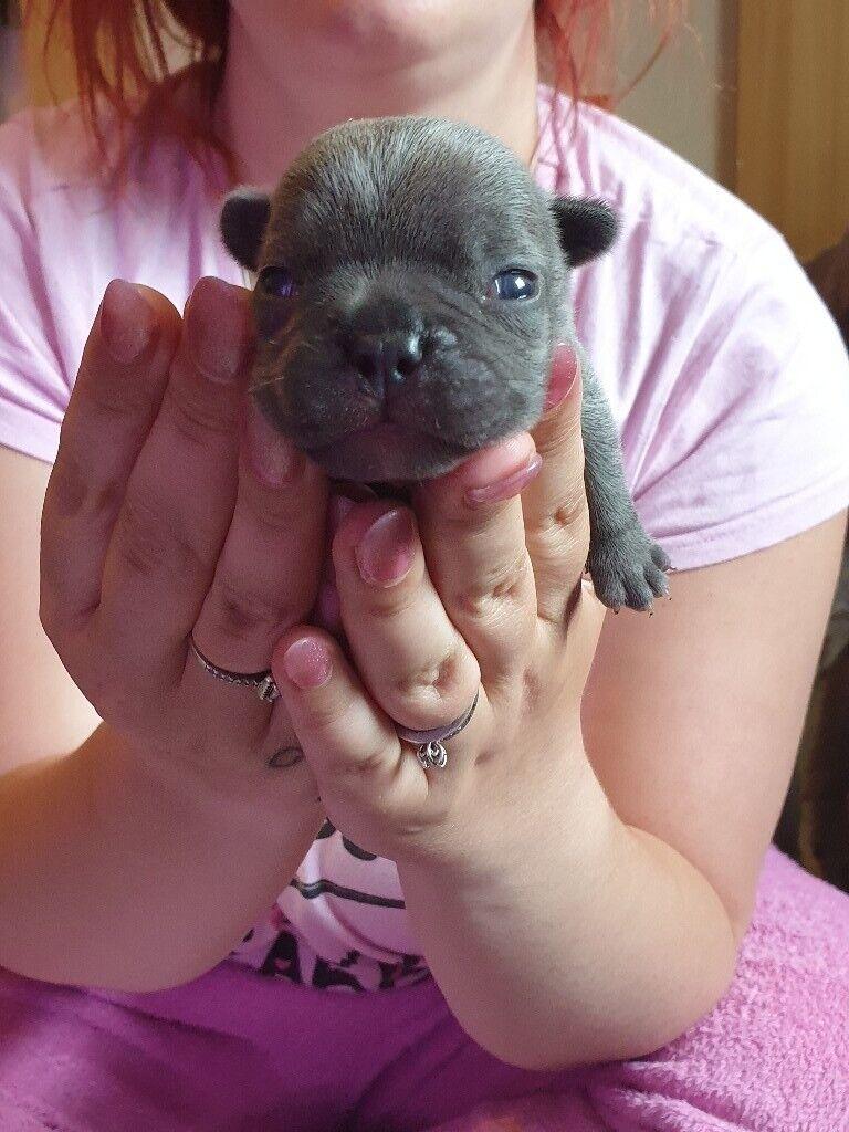 French bulldog | in Pontypridd, Rhondda Cynon Taf | Gumtree