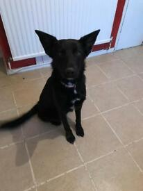 Black female German shepherd X pup