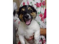 4 month old miniature terrier Male