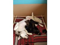 Alaskan Shepherd Pups for Sale