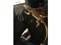Male bearded dragon and full 4ft setup