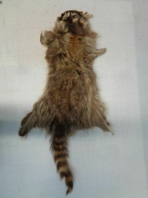 RACCOON RACOON FUR PELT SKIN SKINS FOR CRAFT for sale  Canada