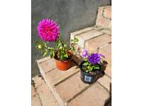 Aster plant in a pot