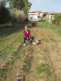 Sardinian Saffron