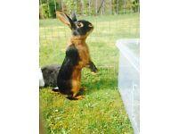 Baby Belgium hare