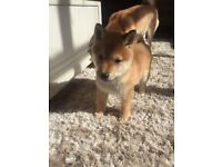 JAPANESE FEMALE SHIBA INU PUPPY RED MUST SEE