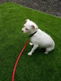 Maltese x Yorkshire terrier 2 year old girl