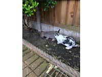 2xlionhead rabbits and cage