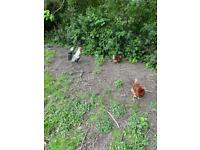 Laying young chickens and 1 cockerel 7 in total