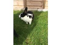 Rabbit female pet