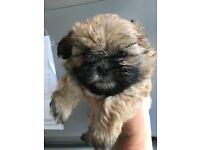 Shih tzu boy pup 7 weeks