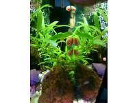 10 pink pearl ramshorn snails