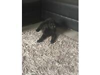 Labradoodle 9 weeks old