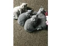 British Shorthair wonderful kittens