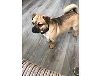 8month old male jug dog (pug + jack Russel)