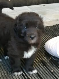Mareriever (Maremma x Flat Coated Retriever) puppies