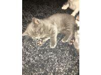 Beautiful Grey Kittens from a Bengal cross cat