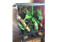 Crested Gecko with full setup!