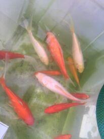pond fish 5CM-20CM