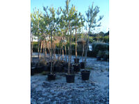 SCOTS PINE 9FT TALL 35LT POTS £35 EACH PLANT NOW AND HIDE ONLOOKERS IN 2017.UNBEATABLE VALUE.