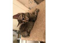 Maine Coon x bsh kitten girl