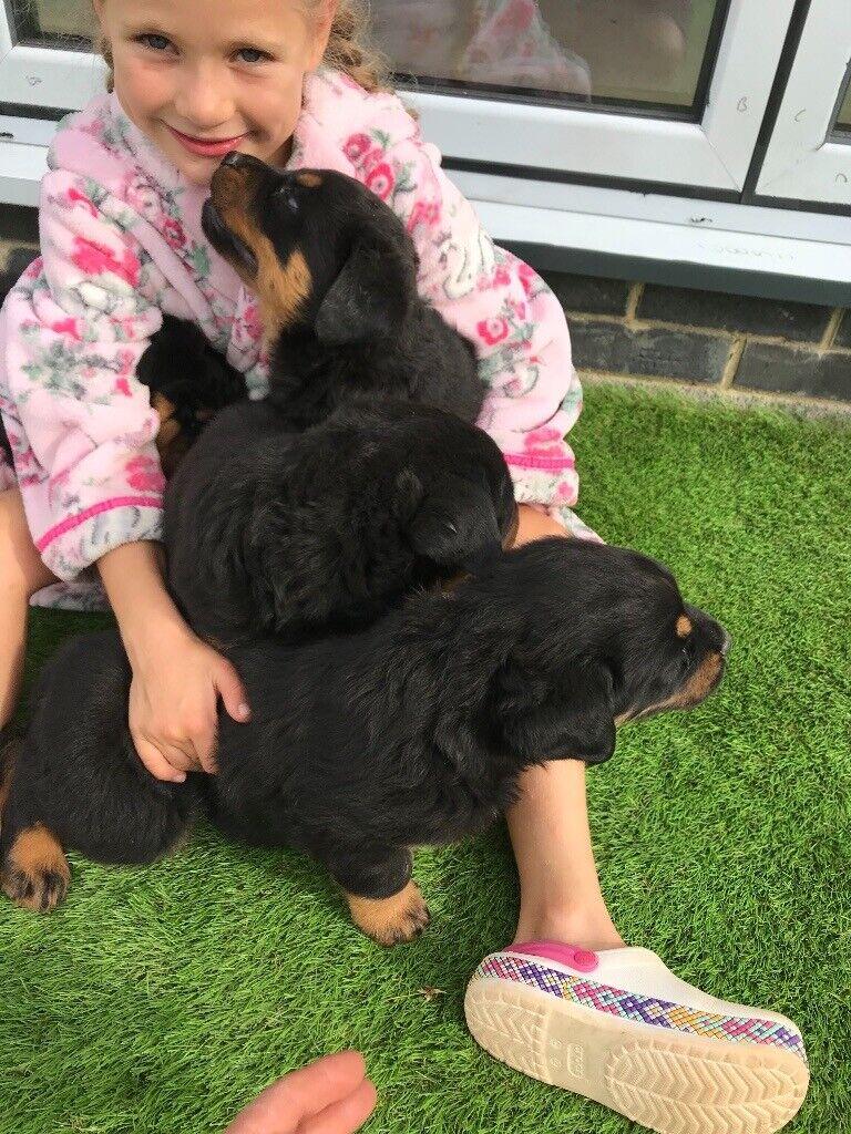 Rottweiler Puppies In Gloucester Gloucestershire Gumtree
