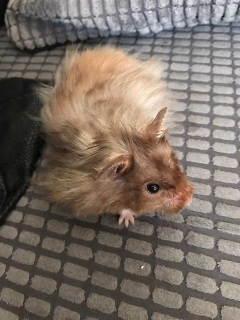 Long Haired Syrian Hamster For Sale Hairstyle