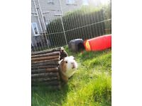 2 lovely male 11 months old guinea pigs + all you need for them