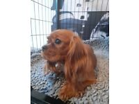 Adorable healthy cavalier king charles spaniel