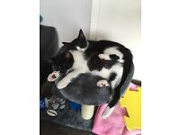 Medium hair, fully vaccinated, de-wormed&flead, brother and sister kittens