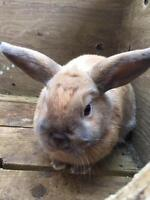 Holland Lop 4 months old