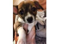 Beautiful teacup chihuahua x jack russell pups ONLY 2 LEFT!