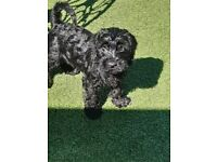 SCHNOODLE PUPPY FOR SALE READY NOW