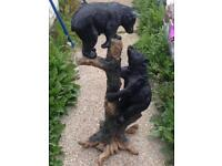 Toscano statue of 2 bears up a tree XL/beautiful