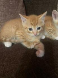 Boy ginger and white kitten 8 weeks old