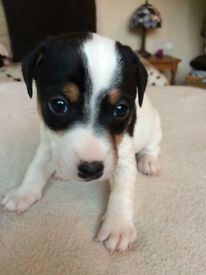 short haired jack russell pups for sale